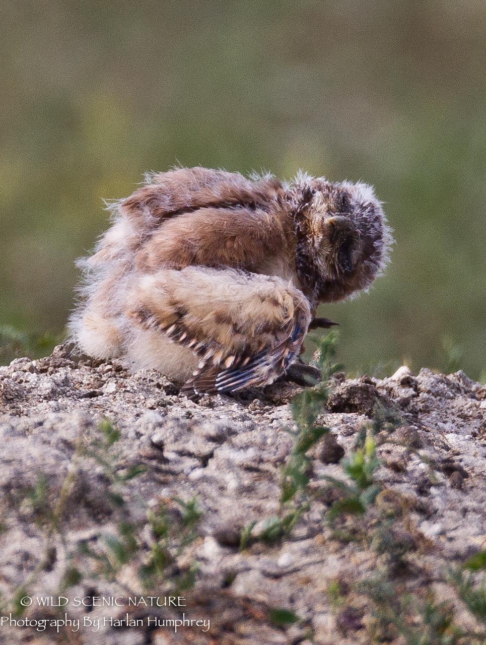Hot Summers Makes You Sleepy Burrowing Owls Harlanhumphreyphotos